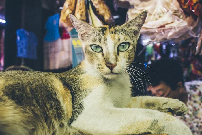 Cats of Myanamar, Yangon