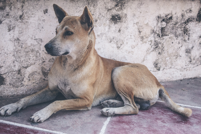 Dogs of Myanmar