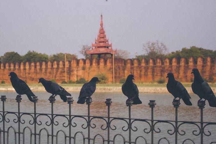 Pigeons in Mandalay