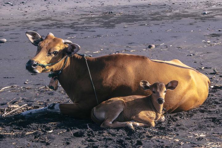 Cow family at Pulukan beach, Bali