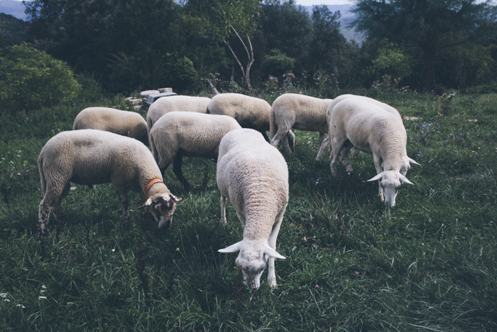 Sheep in Olot