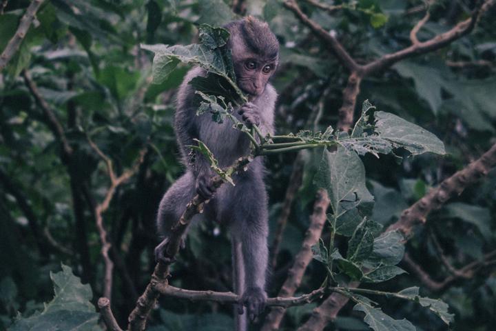 Little monkey, Bali