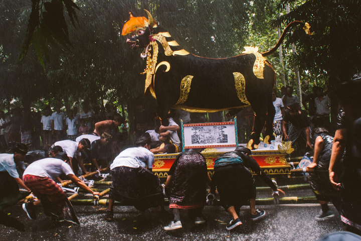 Black cow during cremation, Bali